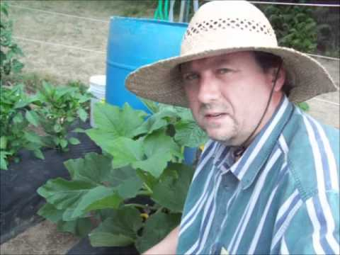 Squash Bug Identification And Control – Garden Pests