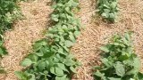 Dealing with Common Garden Pests: Cabbage worms and Potato bugs