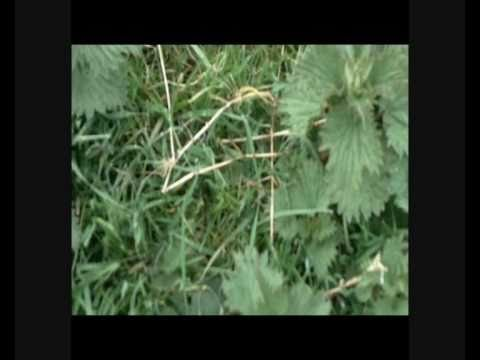How to make Natural Organic Nitrogen Rich Plant Food Fertilizer from Nettles