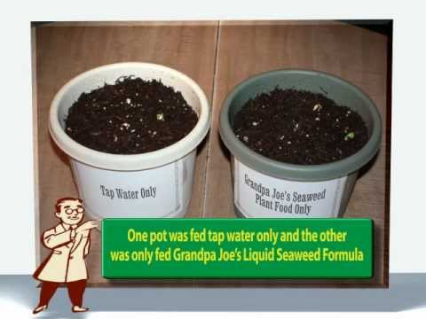 Gardening Tips-Liquid Seaweed Fertilizer Test