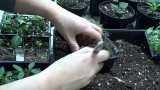 Transplanting Planting Herbs and Peppers Indoors