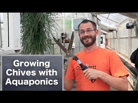 Growing Herbs Using Aquaponics: Chives