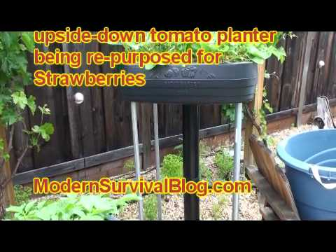 Container Garden – growing strawberries
