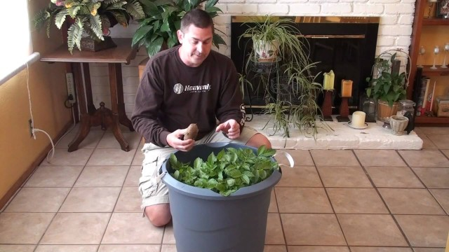 Container Gardening – growing potatoes