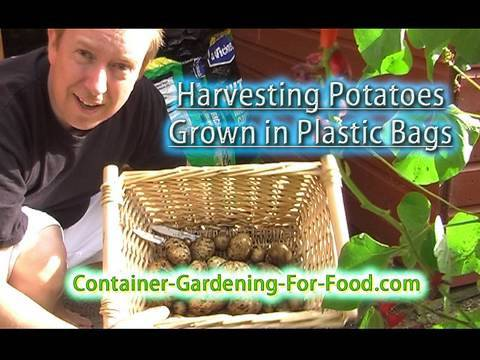 Harvesting Potatoes Grown in Plastic Bags