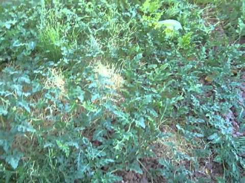 Gardening Las Vegas Style in Desert Landscaping 3 Month update #10
