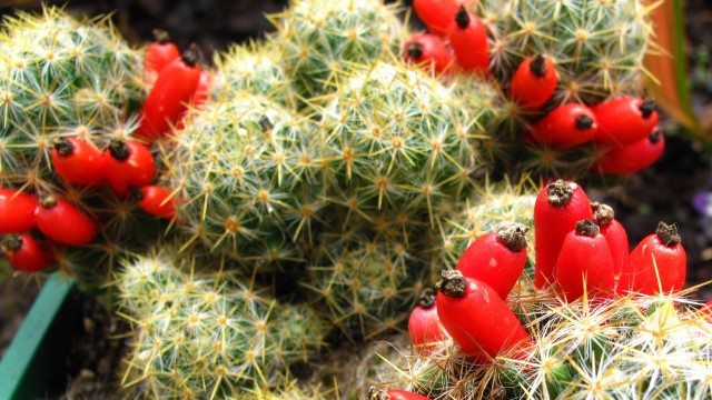 Fruiting Cacti Plants – Tasting & Growing!
