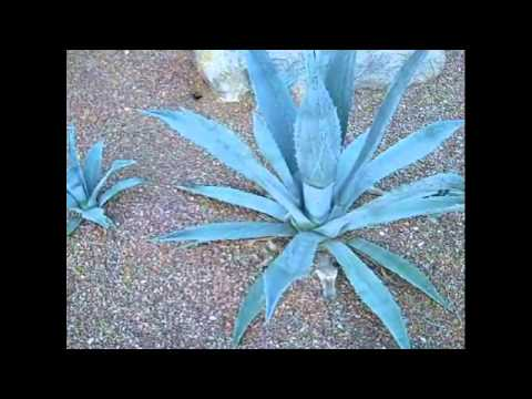 Agaves in a Desert Landscape.wmv