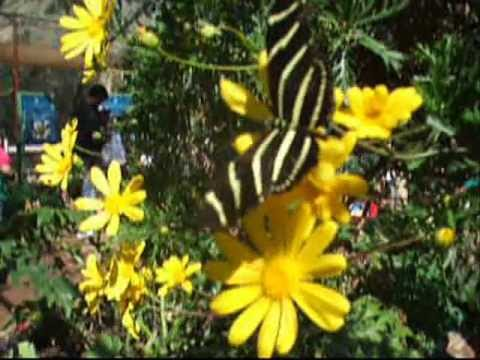 Butterflies at the Desert Botanical Garden – Phoenix, AZ –  Mar. 02, 2013
