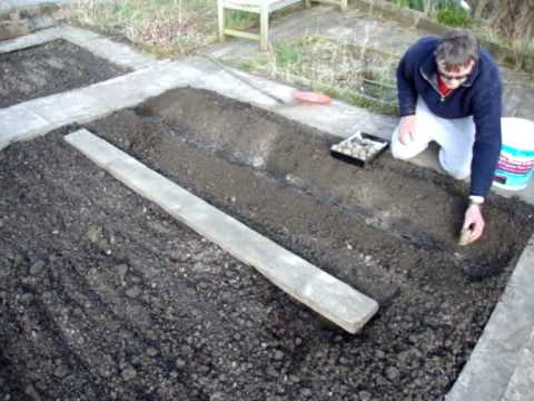 Allotment Diary : How to plant potatoes : Planting / Growing Potatoes on the Allotment