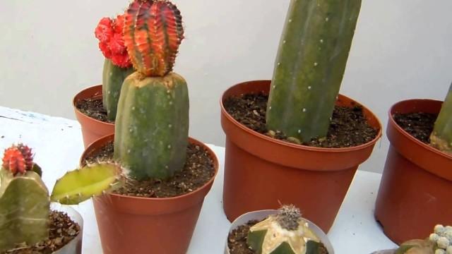 Cactus injertos – Parte 1