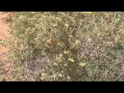Chihuahuan Desert Plants Part I.wmv