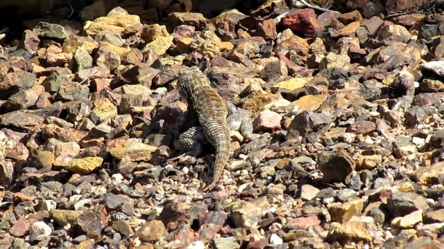 Spiny Lizard in Desert Botanical Gardens, Arizona