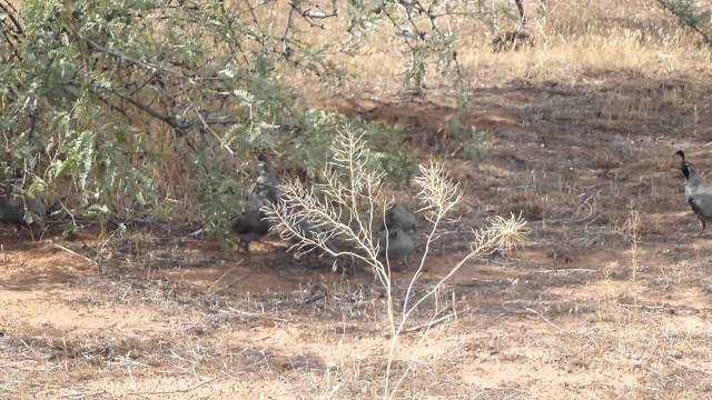 Arizona desert quail
