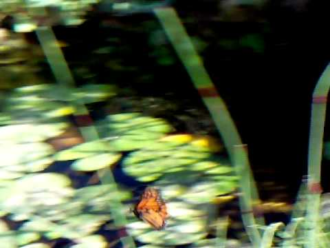 Monarch Butterflies by Lily Pond