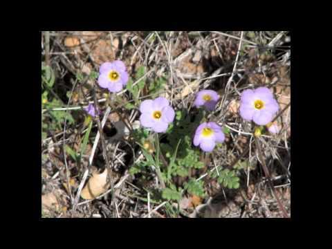 Wild Flowers of the Mojave Desert and Mt. Charleston