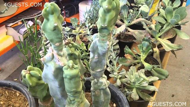 CACTUS PLANTS, GARDEN CENTER AT HOME DEPOT