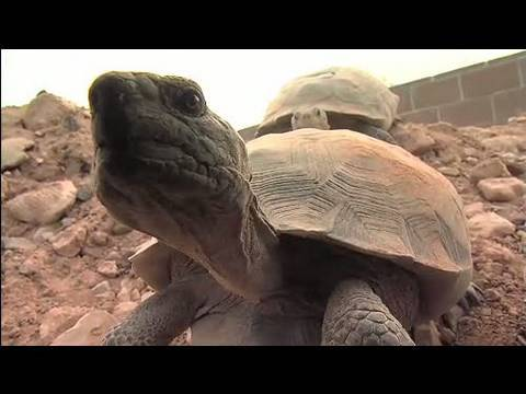 The Heat is On: Desert Tortoises & Survival (Part 1 of 4)