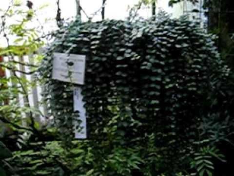 Plants: Medinilla sedifolia – Madagaskar – Botanical Garden Heidelberg