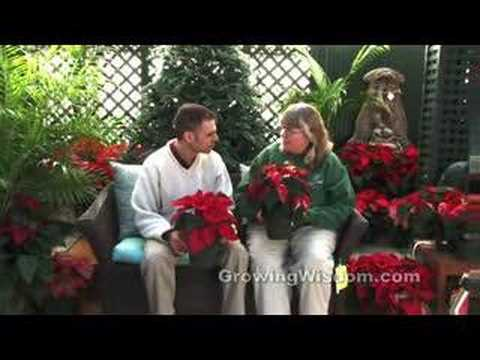 Choosing and Caring for Poinsettias