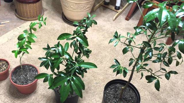 Citrus Trees in Biochar – Update