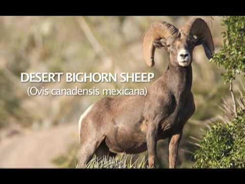 CHIHUAHUA DESERT BIGHORN SHEEP PERMITS