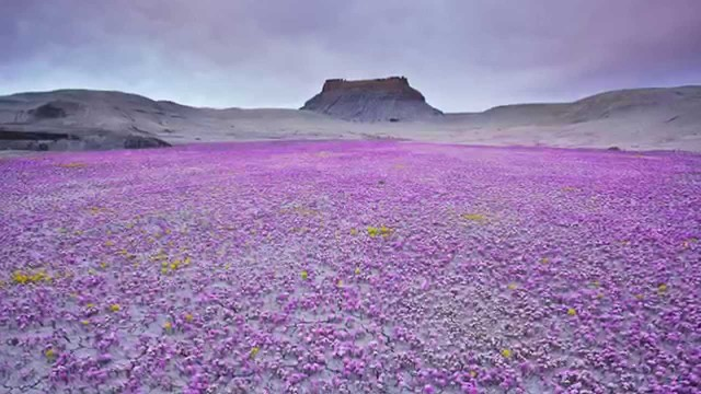 Flowers growing in Desert Regions 2014 HD 1080p
