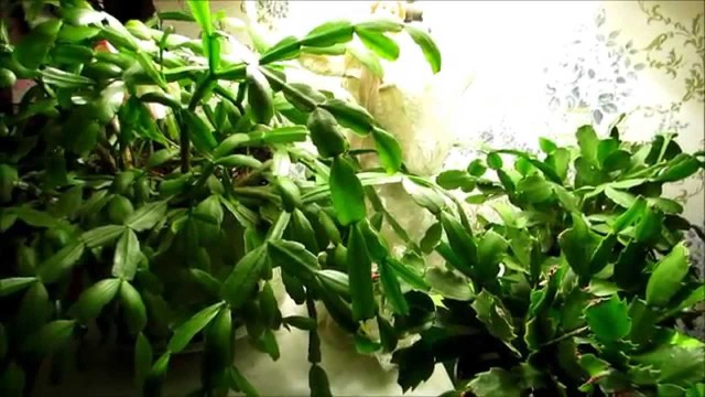 ??How to identify Christmas cactus,Easter cactus and Thanksgiving cactus plants??
