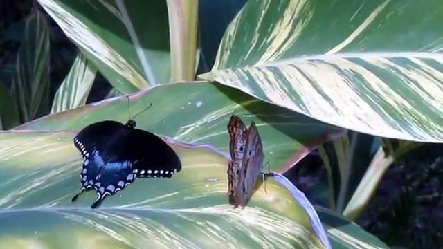 Butterflies at Desert Botanical Gardens in Phoenix, Arizona