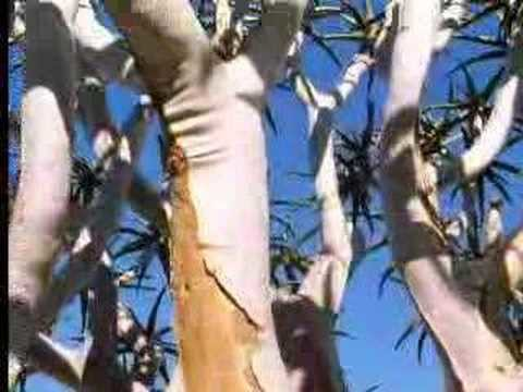 How the quiver tree survives in the desert – David Attenborough – BBC wildlife
