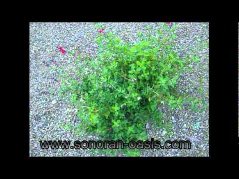 Desert Landscaping using Salvia Plants