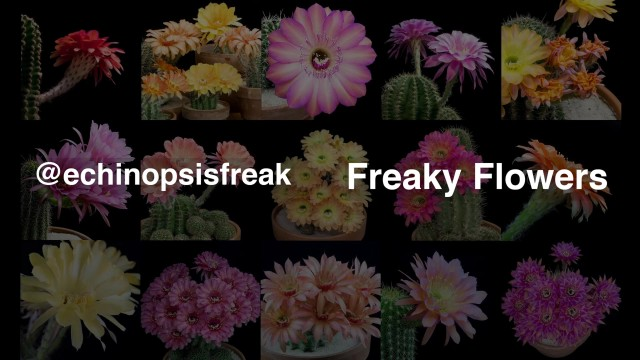 Freaky Flowers – Echinopsis Cacti in Bloom