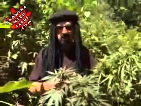 budding weed plants growing marijuana outdoors for beginners indica plant