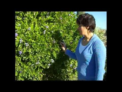 Texas Mountain Laurel for Arizona Landscapes.wmv