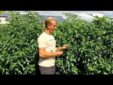 Top Leafy Green for Phoenix, Arizona Desert Gardens – Summer Heat Garden Greens
