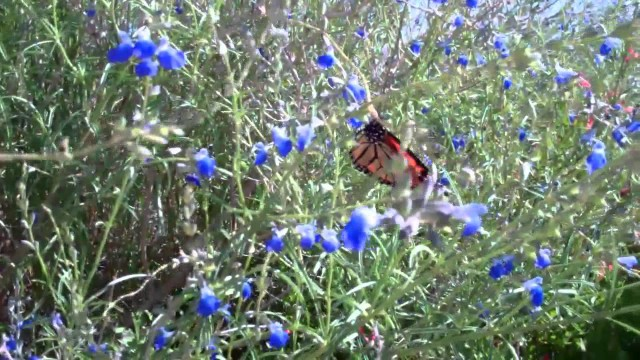 Mountain Of Butterflies 2016 – Monarch Butterfly At Chihuahuan Desert Nat Center & Botanical Garden