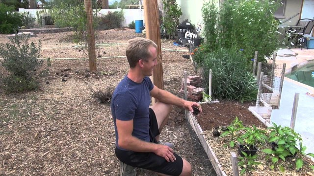 Amazing Garden – Planting SWEET PEPPERS in Phoenix, Arizona!
