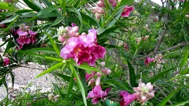 "Desert Willow (Chilopsis linearis) , Lisa's Landscape & Design ""Plant Pick of the Day"", Lisa LaPaso"