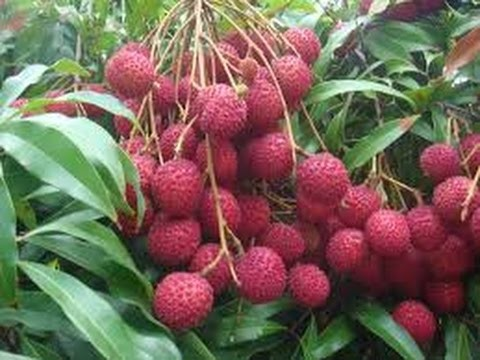 2 How to Plant a Lychee Tree in Phoenix, Arizona – Soil, Water, Sun, Food, Mulch!