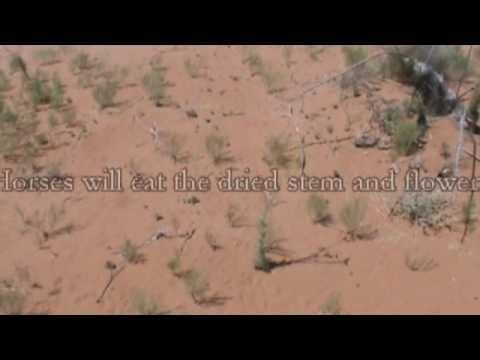 Chihuahuan Desert Plants Part II