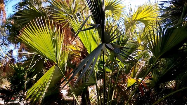 Chinese Fan Palm, Livistona chinensis, The Living Desert