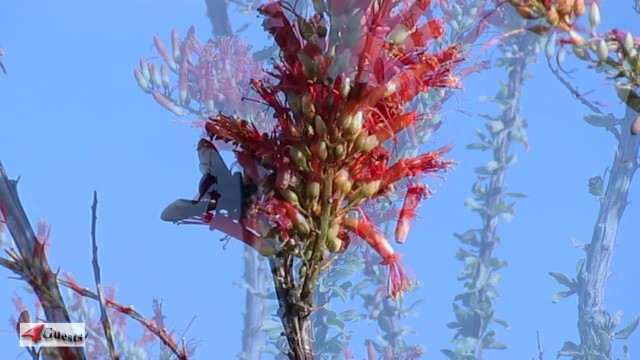 OCOTILLO PLANTS IN BLOOM ~ DESERT FLOWERS