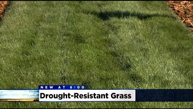 Delta Sod Farmer Brings Drought-Resistant Turf That Requires Less Water To Stay Green