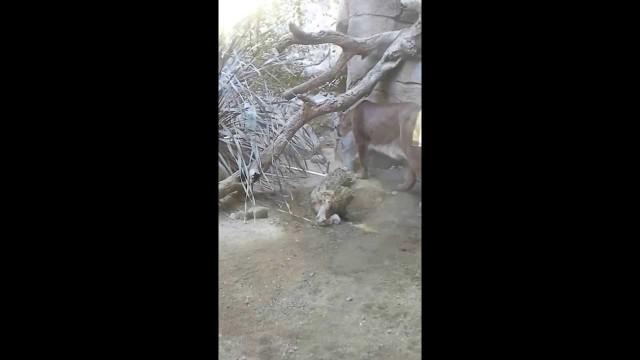 Mountain lion experience the Living Desert, Palm Desert, CA