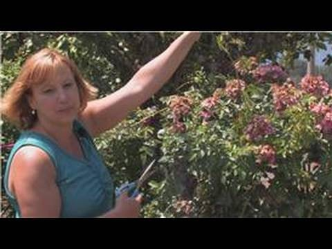 Rose Gardening : How to Prune Desert Roses
