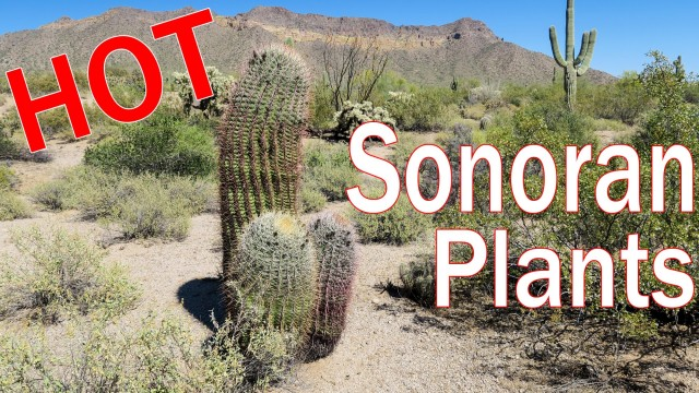 Sonoran Desert Plants Cactus Trees Shrubs of Arizona