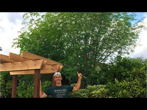 Moringa Oleifera Tree – Miracle Tree – Growing in Arizona Garden!