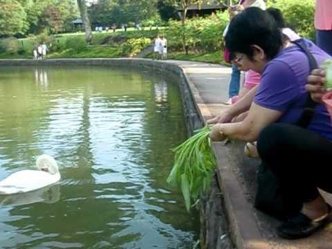Swan feeding at Botanical Garden