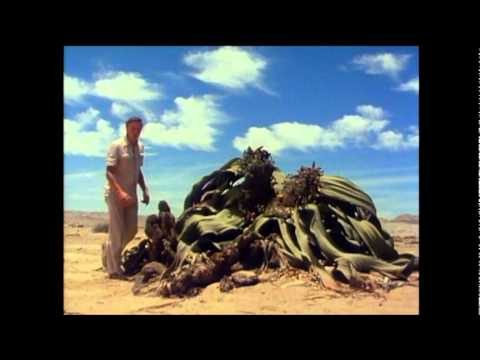 Welwitschia of the Namib desert is truly a bizarre plant, a living fossil