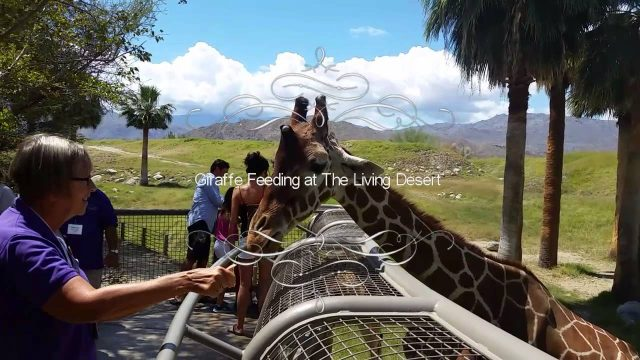 Giraffe Feeding at The Living Desert Zoo and Gardens in Palm Desert, California